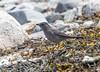 Gray Catbird (Laura Erickson) Tags: harborisland birds species lincolncounty mimidae graycatbird passeriformes joyofbirding2018 maine places events dumetellacarolinensis