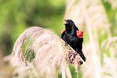 Red wing blackbird (mayekarulhas) Tags: philadelphia pennsylvania unitedstates us redwing bird blackbird avian wildlife wild johnheinznaturereserve canon canon7dll