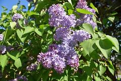 Lila lilacs (petrOlly) Tags: europe europa slowakei slovakia slovensko słowacja sk2018 nature natura przyroda flower flowers mýtopodďumbierom