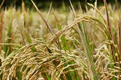 Rice (sitilevente) Tags: gold authentic riceterrace bali food cereals rice