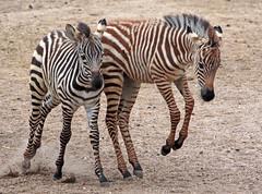 Zebra Burgerszoo JN6A6242 (j.a.kok) Tags: zebra grantzebra equus mammal zoogdier dier animal africa afrika herbivore burgerszoo burgerzoo