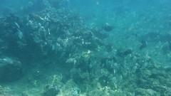 DSCF5813 (washuugenius) Tags: hawaii maui video snorkeling underwater poolenalenabeach fish tang convicttang acanthurustriostegus