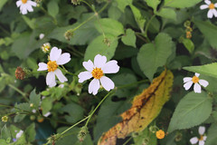 Hoa Xuyến Chi - Xuyến Chi Flower (Thuytien Celia Ng.) Tags: flowers xuyến chi vietnam dalat