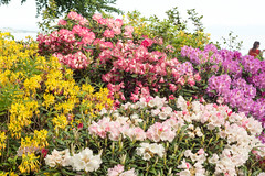 Rhododendron at the Lake Shore (Bephep2010) Tags: 2016 77 alpha blume blüte bodensee constance deutschland frühling germany insel konstanz lakeconstance mainau makro rhododendron sal50m28 slta77v see sony ufer blossom flower island isle lake macro shore spring badenwürttemberg de