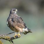 Swainson's Hawk (Dark Morph) thumbnail
