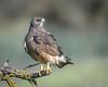 Swainson's Hawk (Dark Morph) (Becky Matsubara) Tags: aguililladeswainson avian bird birds busedeswainson buteoswainsoni hawk nature outdoors raptor swha sanluisnationalwildliferefuge sanluisunit swainsonshawk westbearcreekunit wildlife