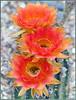 Cactus Blooms (tdlucas5000) Tags: cactusflowers cactus blooms california closeup macro bokeh orange red yellow d850