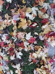 11-07-17 Dayton 13 leaves, fall color (Chicagoan in Ohio) Tags: dayton clouds sun sunhalo leaves fallcolor