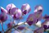 purple lady and blue sky/紫婦人の青空散歩 (kurupa_m) Tags: wisteria flower plant purple macro spring hokkaido sapporo fujifilm xt10 藤 紫 春 北海道 札幌 百合が原公園