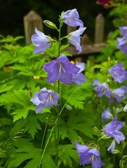 Local Churchyard @ SE15.. (Adam Swaine) Tags: eastdulwich gardens flora flowers purplegreen naturelovers nature summer england english britain uk london se22 beautiful canon petals stamen