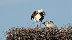 The young storks 2018 (emmily1955) Tags: weisstörche storks