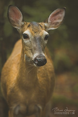 Doe In The Forest (Brad Lackey) Tags: doe deer whitetail forest woods hiking ears whiskers eyecontact greatsmokymountains nationalpark townsend tennessee goodlight bokeh nikon70200mmf28 d7200