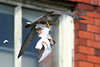IAN_4117 (superbradphotos) Tags: superbrad superbradphotos ianbradley derbyshire belper eastmill belperrivergardens belperperegrines peregrine falcon eyass tiercel peregrinejuvenile raptors falcons birdsofprey predators
