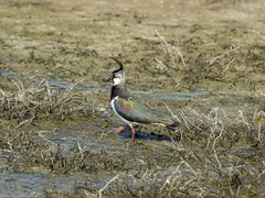 P5300035 (turbok) Tags: kiebitzvanellusvanellus tiere vögel wildtiere c kurt krimberger