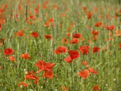 P6021157 (turbok) Tags: blumenwiese blütenrot klatschmohnpapaverrhoeas landschaft pflanze wildblumen wildpflanzen c kurt krimberger
