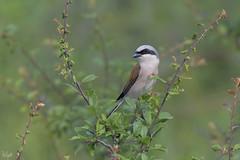 Averla Piccola (Polpi68) Tags: averla piccola bird birds birdwatching nature
