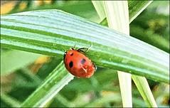 A June Ladybug ... (Irene, W. Van. BC) Tags: ajuneladybug ladybug bugs smallbugs smallanimals grass evening environment environmentday allbugs celebrations plants greenery greenleaves 1001nights 1001nightsmagiccity 1001nightsmagicpeacock allmacrophotos animalmacroshots insects macro