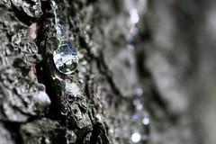Kuusen kyyneleet (arcticbramble) Tags: macromondays allnatural kuusi spruce pihka resin puu tree metsä forest valo light ruskea brown harmaa gray varjo shadow heijastus reflection kuori bark macromademoiselle