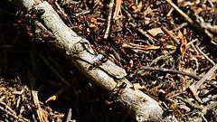 Rote Waldameise (Tobi NDH) Tags: rotewaldameise formicarufa redwoodant southernwoodant horseant hormigarojadelamadera hormigarojaeuropea fourmiroussedesbois behaardebosmier mrówkarudnica mraveneclesní erdeivöröshangya rødskogsmaur furnicasudicădelemn furnicacal рыжийлесноймуравей mravechôrny velikardečamravlja rödskogsmyra punakekomuurahainen nature natur wildlife