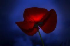 Hidden Truths (Corinaldesi Roberto) Tags: poppy nature mistery night macro focus