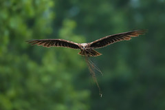 Falco di palude con rametti (Francesco Filippo Pellegrini) Tags: falco di palude circusaeruginosus marsh harrier bird animali animal nature nido volo
