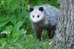 The Coast Is Clear (flipkeat) Tags: wildlife animal animals virginia opossum closeup awesome ugly marsupial possum portcredit mississauga ontario different outdoors didelphis virginiana