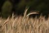 Getreidefeld (rubrafoto) Tags: getreidefeld getreide triticale roggen natur landwirtschaft getreideanbau ernährung biolandwirtschaft gesundheit ottensheim a