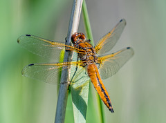 DSC4415  Scarce Chaser... (jefflack Wildlife&Nature) Tags: scarcechaser odonata dragonflies dragonfly insects insect reservoirs reeds reedbeds marshland meadows marshes lakes ponds waterways wildlife wetlands countryside norfolk nature