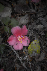 Dying Beauty (DanÅke Carlsson) Tags: japan japanese camellia flower fading fallen ground beauty red leaves