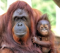 I've Got a Surprise for You Mom (Darts5) Tags: orangutan orangutans primate primates monkey animal nature 7d2 7dmarkll 7dmarkii 7d2canon closeup canon7d2 canon7dmarkll canon7dmarkii canon canonef100400mmlii ef100400mmlll borneo