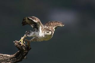 Aquila di Bonelli - Bonelli's eagle