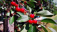 Éretten pirosló cseresznyeszemek (Ják) (milankalman) Tags: cherry fruit red summer nature