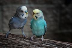 Did You Hear About Peeps? - 060918-132137 (Glenn Anderson.) Tags: birds nikon parakeet feathers nature photo photograph pic picture beak wings singing wildlife bird animal sylvanheightsbirdpark scotlandnecknc