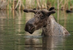 Bull Moose (in the pond) (Guy Lichter Photography - 4M views Thank you) Tags: canon 5d3 canada manitoba rmnp wildlife animals mammals moose