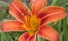 The Heat Is On (ChicaD58) Tags: dscf4364b flower lily tigerlily orangelily garden spring perennial