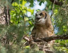 Mommy, I'm here (N.Clark) Tags: greathornedowlbubovirginianus fledgling owlet familystrigidae birdsofmanitoba birds wildbirds ornithology avian youngowlcalling