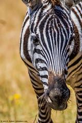 2017.06.20.3832 Zebra (Brunswick Forge) Tags: 2017 safari africa tanzania grouped favorited