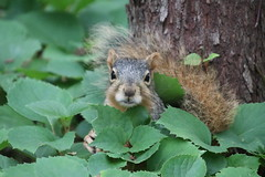 1/365/3653 (June 12, 2018) - Squirrels in Ann Arbor at the University of Michigan (June 12th, 2018)