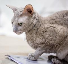 Karolina (3) (toriasoll) Tags: cat cornishrex cornish cornishcat cornishrexcat curlycat