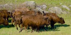 Run! (hecticskeptic) Tags: yellowstone yellowstonenationalpark markamorgan spring 2018 may bison reflections