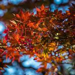Setting sun shining on Japanese Maple thumbnail