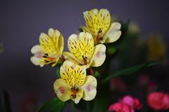 DSC_0318 Alstroemeria (PeaTJay) Tags: nikond750 sigma reading lowerearley berkshire macro micro closeups gardens indoors nature flora fauna plants flowers alstroemeria