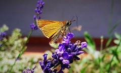 Erdei busalepke a levendulán (Ják) (milankalman) Tags: lavender garden summer insect