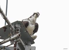 """Osprey"" ""Pandion haliaetus"" (jackhawk9) Tags: osprey pandionhaliaetus fishhawk seaeagle hawks raptor bird birdofprey wildlife nature jackhawk9 southjersey edwinbforsythenationalwildliferefuge newjersey usa canon ngc riverhawk fisheagle fantasticnature"