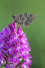 Melitatea phoebe (Nikologia) Tags: macro macrofotografia mariposa lepidoptero trivia melitatea tximeleta