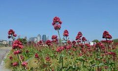 Docklands from Greenwich (Dun.can) Tags: greenwich london se10 centranthusruber red valerian docklands summer