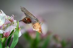 Back Feathers in Action (Patricia Ware) Tags: 500mmf4lisusm allenshummingbird alstroemeria backyard birdsinflight california canon manhattanbeach multipleflash selasphorussasin tripod ©2018patriciawareallrightsreserved specanimal sunrays5