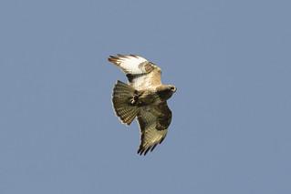 Common buzzard with prey...