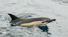 Delfín común (_DSC9511-2-2) (AMBAR Elkartea) Tags: animal delfín delphinus reloj gris amarillo ambar voluntarios socios aletas blanco ekoetxea urdaibai hegaluze odontoceto cetáceos avistamiento bermeo bizkaia costa mamífero mar biodiversidad