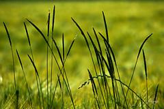 Weeds- (FLOCVROFF) Tags: green vert 250mm proxi nature seeds mauvaises herbes herbacées spring june mai chivaroff canon crazytuesdaytheme 7dwf bokehlicious